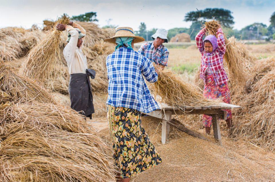 Les rizières de Sagaing.