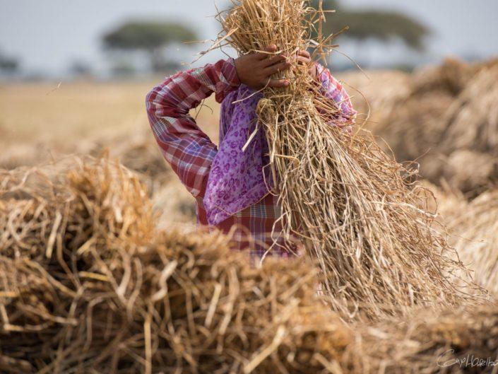 Portraits de moissonneurs de riz.