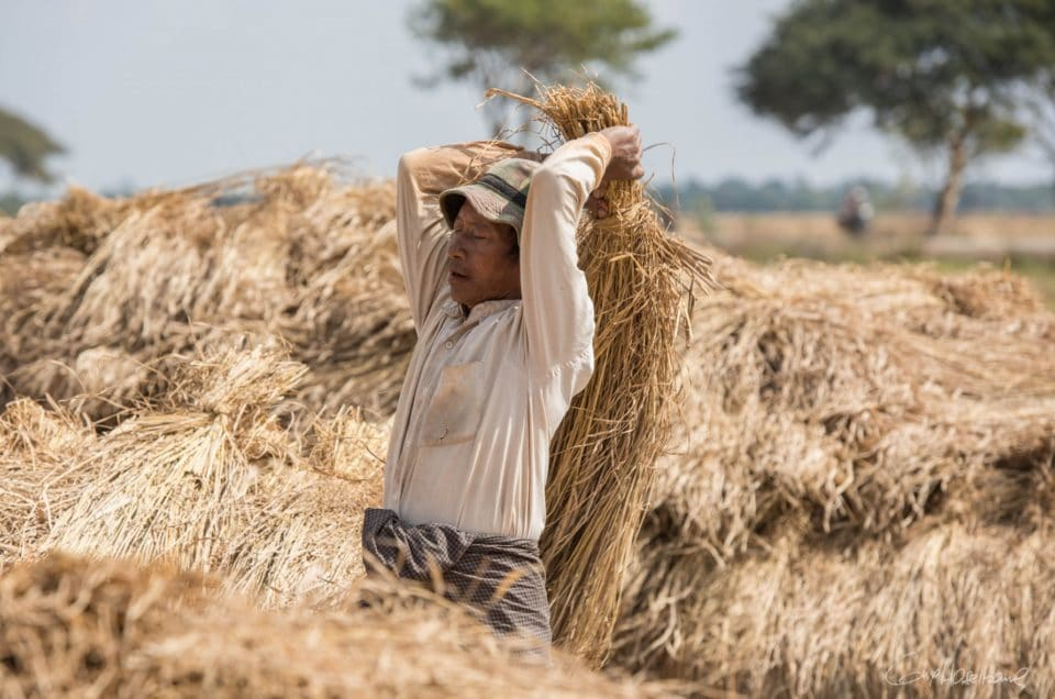Le battage du riz.