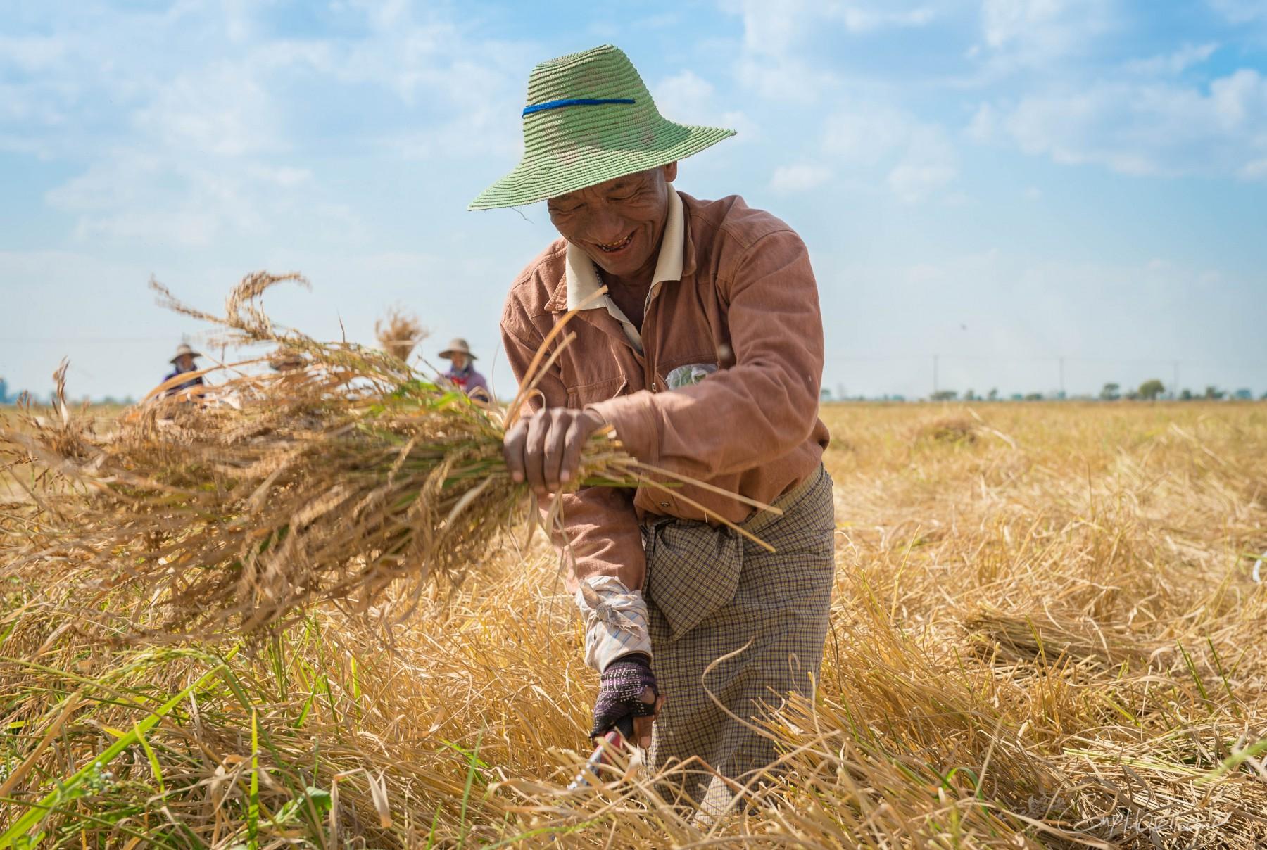 Cultivateur de riz.