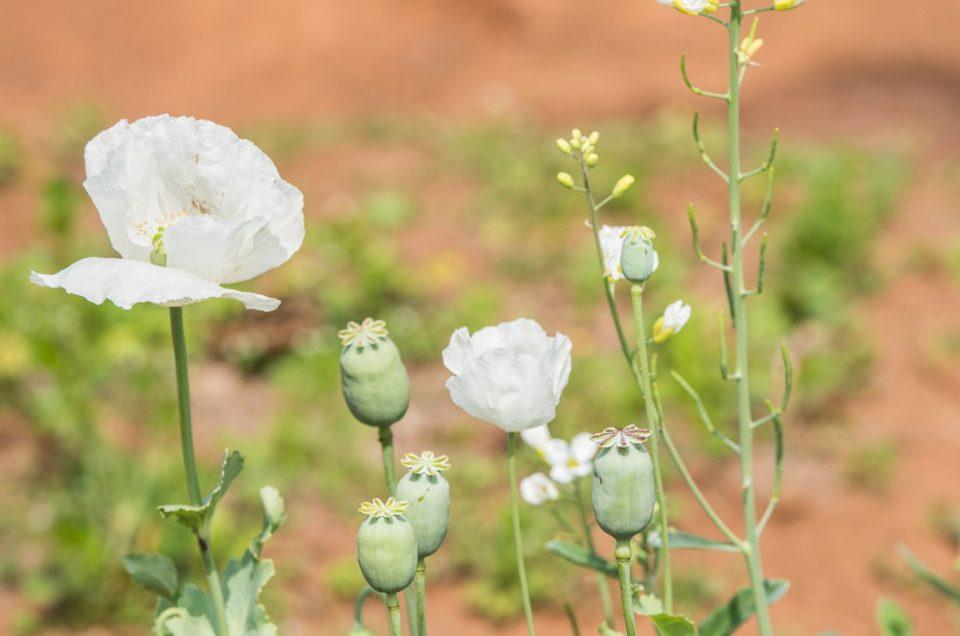 Le pavôt à opium.