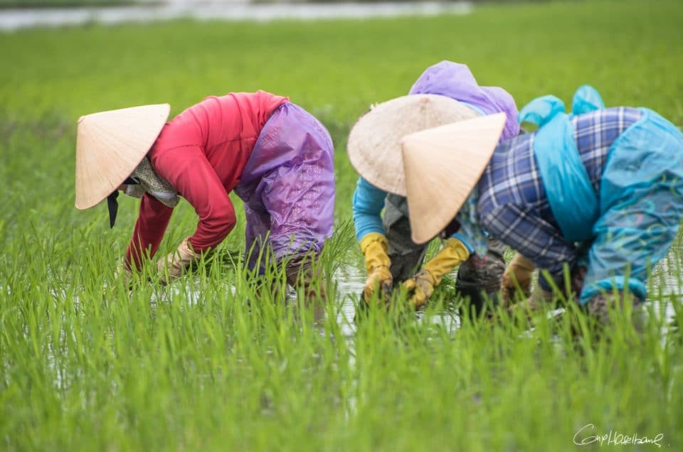 Female Rice transplanters.